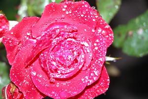 Frau Mann Paare welch freute und lust bei dieser Rose da auf kommt